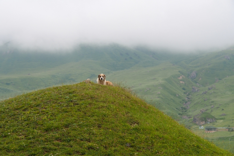 Пастуший пес на горном лугу