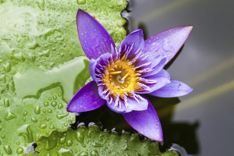 Пурпурный лотос