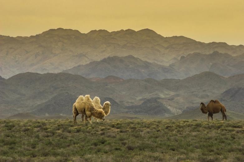 Верблюды в казахстанской степи