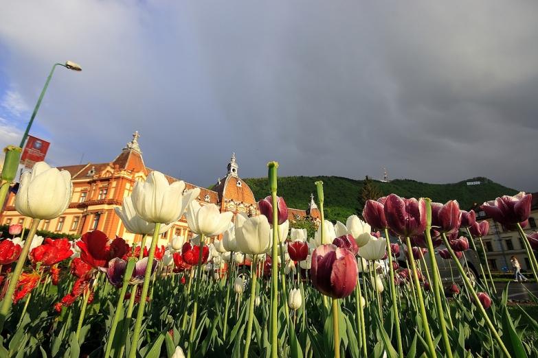 Тюльпаны в городском парке Брашова