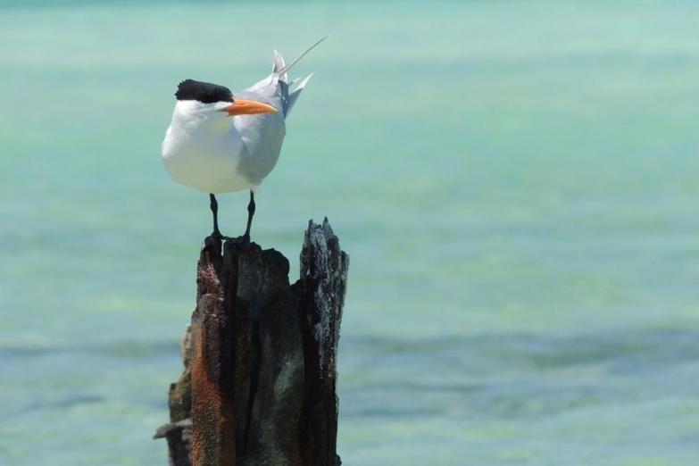 Представитель фауны острова Кайо-Ларго