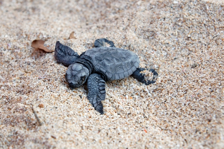 Морская черепашка на пляже Куты