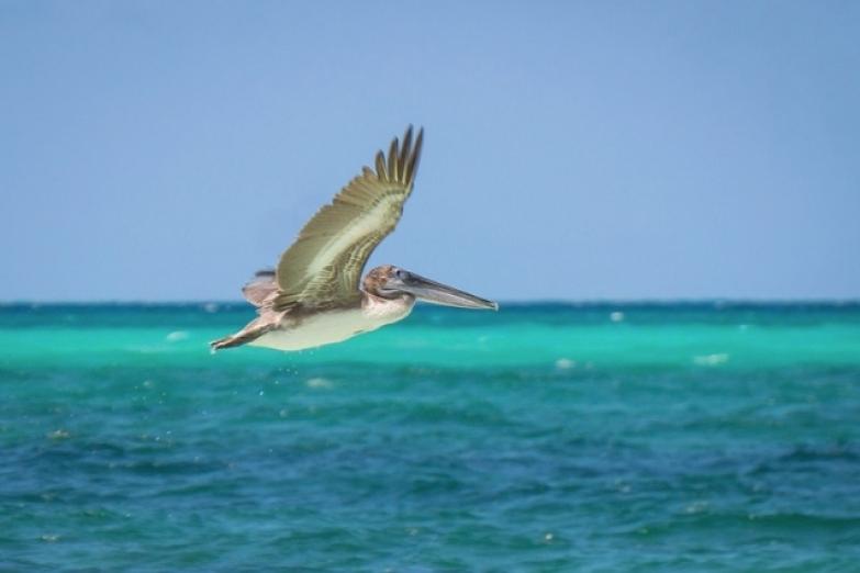 Пеликан на острове Кайо-Гильермо