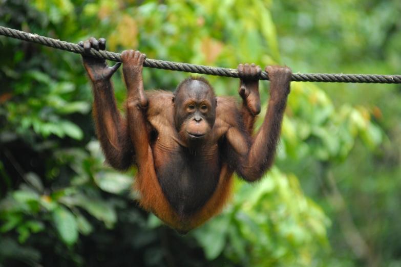 Орангутанг в заповеднике Сепилок