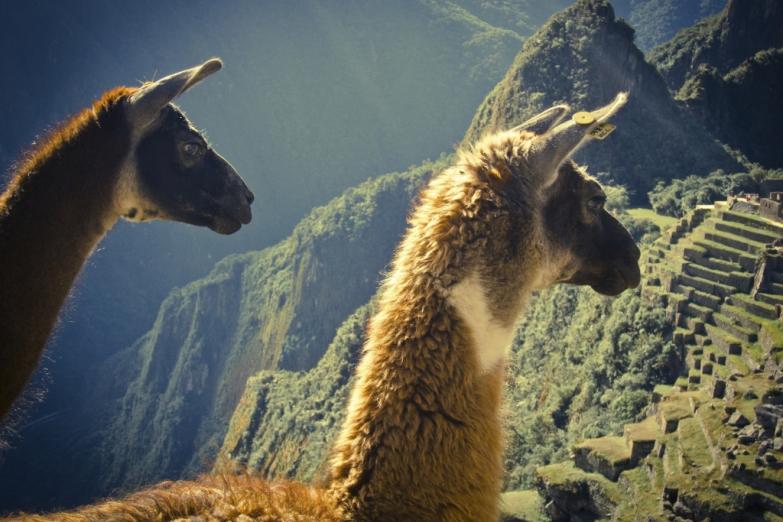 Ламы - впервые были одомашнены около 1000 до н. э. в Перу