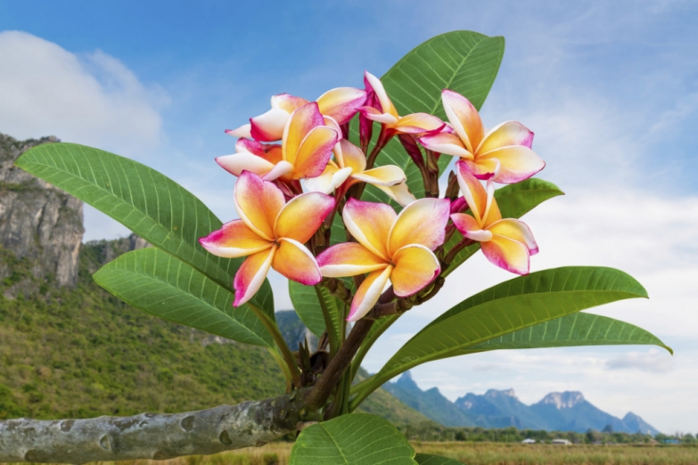 Тропический цветок плюмерия