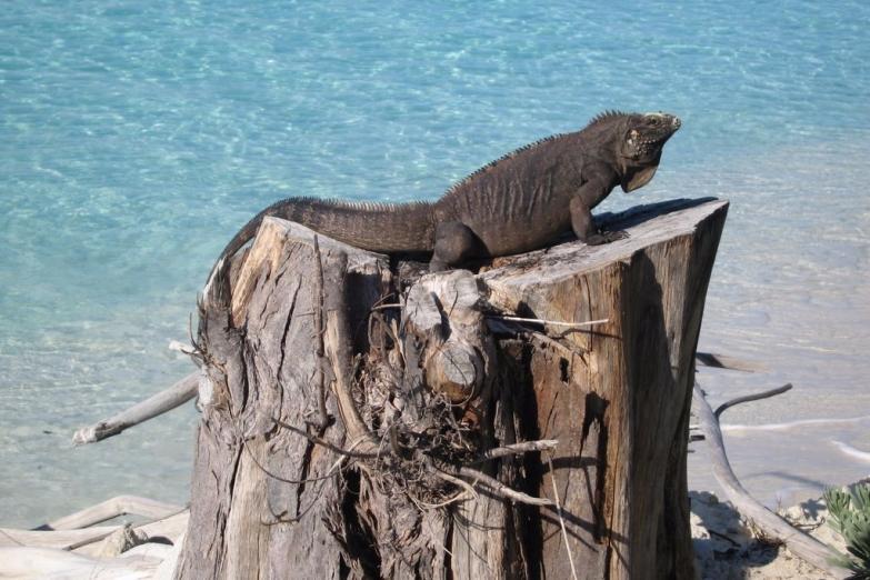 Игуана на острове Кайо-Ларго