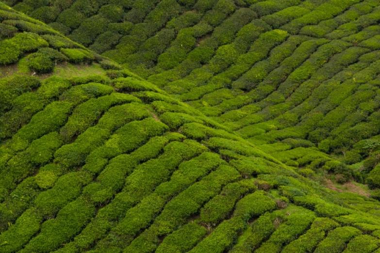 Ковер чайных плантаций в Нагорье Камерон