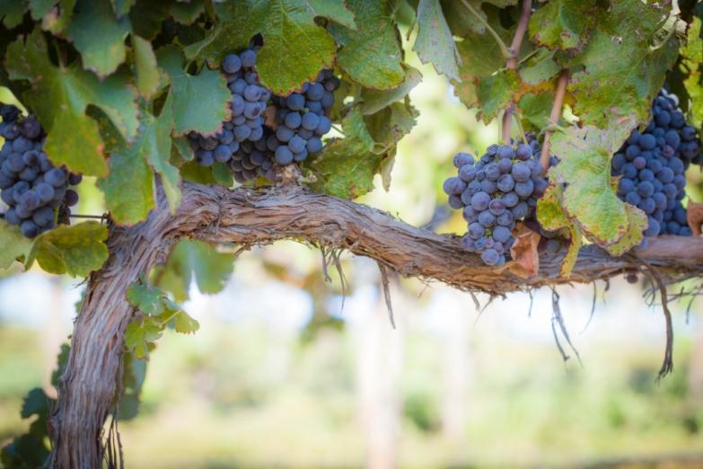 Созревшие гроздья в винограднике