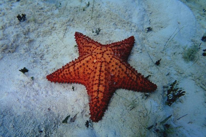 Морсвкая звезда на Кайо-Коко