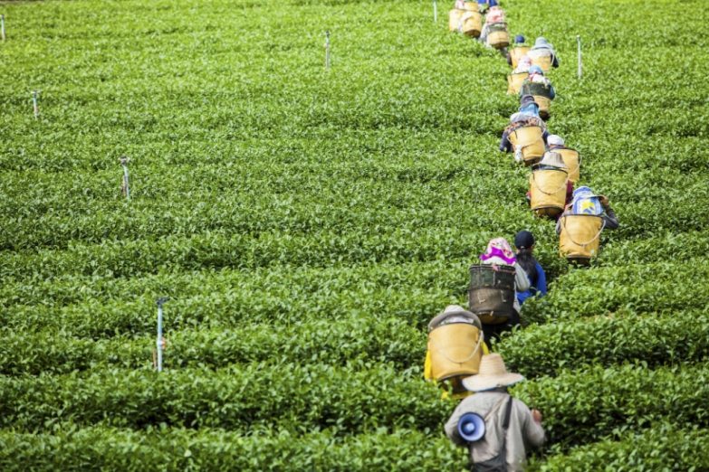 Сбор чая на нагорье Камерон