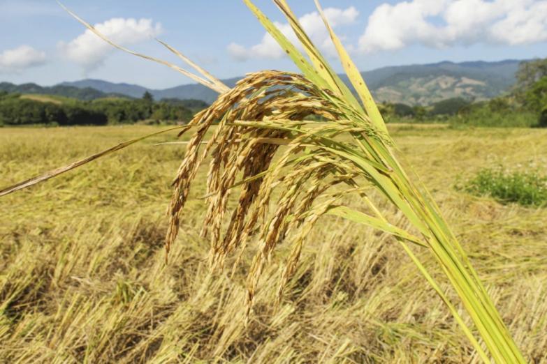 Урожай на рисовом поле