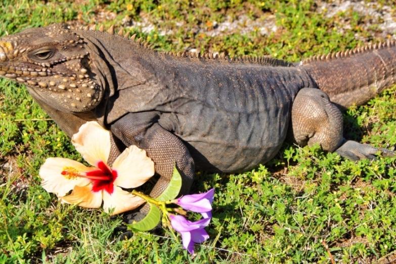 Игуана на острове Кайо-Коко