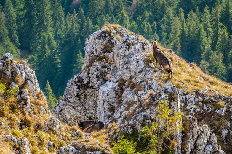 Горные козлы в Карпатах