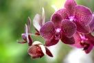 Цветущая орхидея в Ботанических садах Пенанга