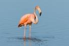 Фламинго на острове Кайо-Гильермо
