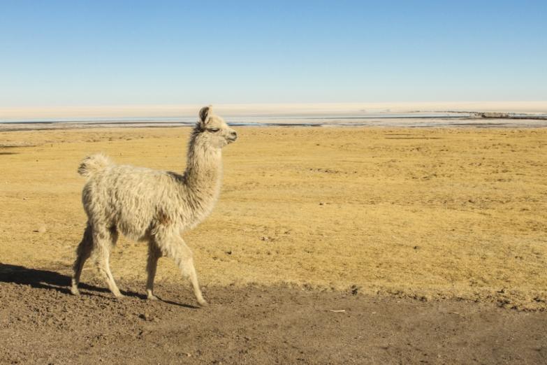 Лама на просторах Перу