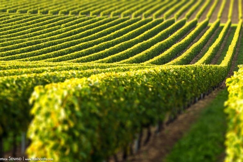 Виноградники в Коньяке