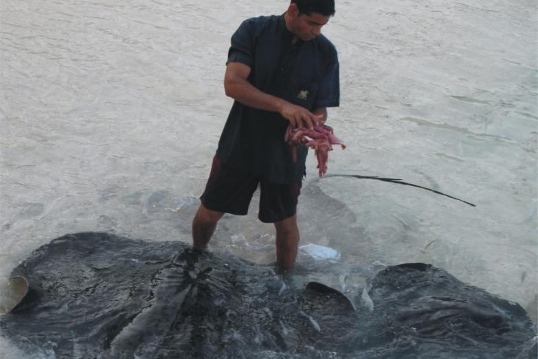 Кормление скатов у берега
