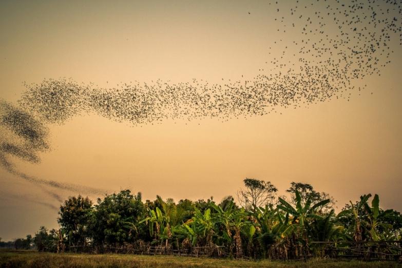 Полет летучих мышей недалеко от горы Phnom Sampeu