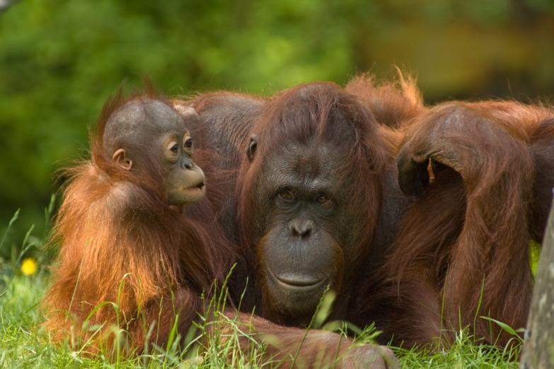 Мать и детеныш орангутана в лесах Борнео