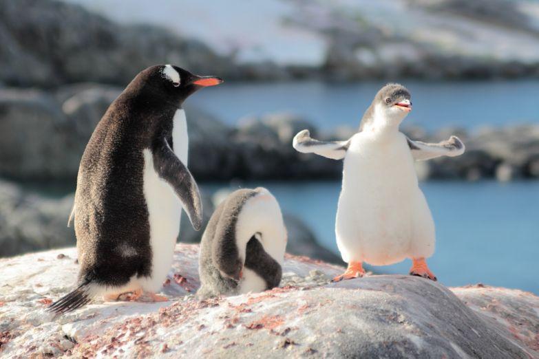Молодые пингвины