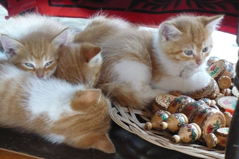 Котята в сувенирной лавке