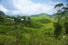Высокогорная чайная плантация