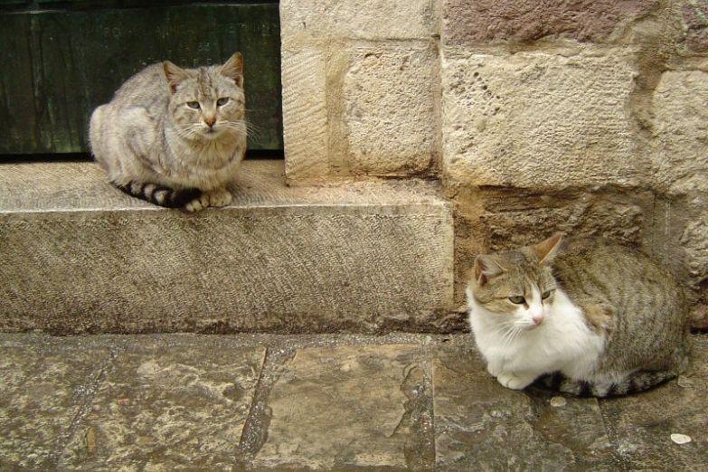 Которские котики