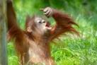 Молодой орангутан в джунглях Суматры