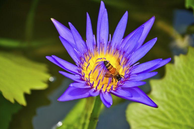 Прекрасный цветок лотоса