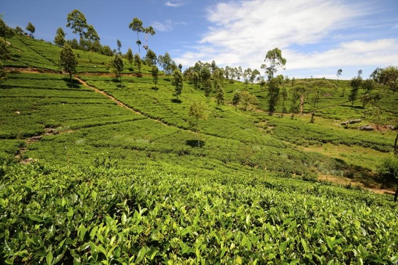 Чайная плантанция