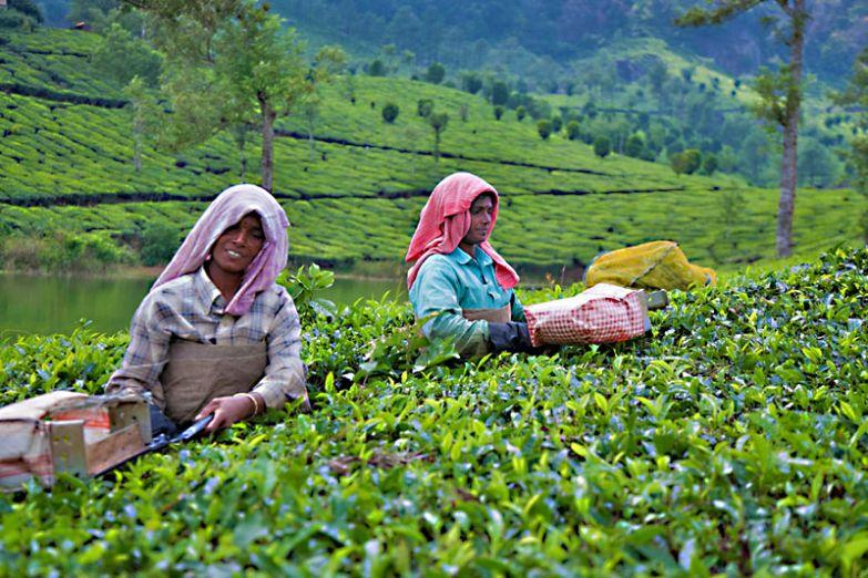 Чайная плантация в Муннаре
