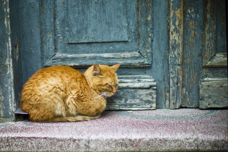 Варненский кот