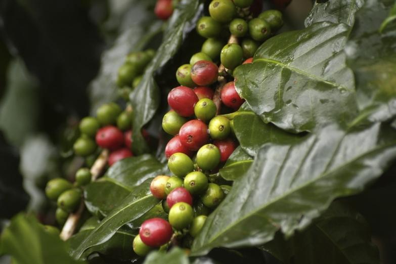 Так зреет знаменитый яванский кофе