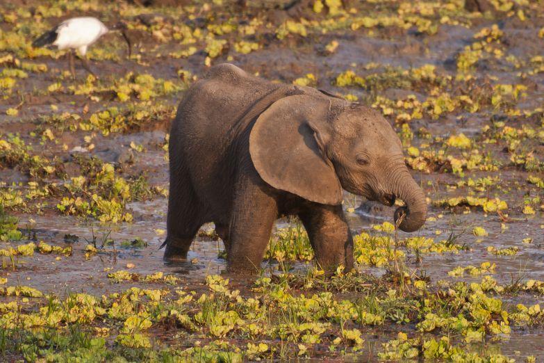 Слоненок на водопое