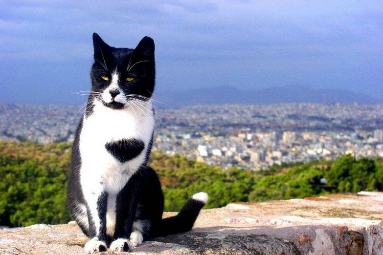 Греческий кот