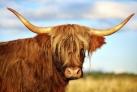 Горные коровы - краса и гордость шотландцев