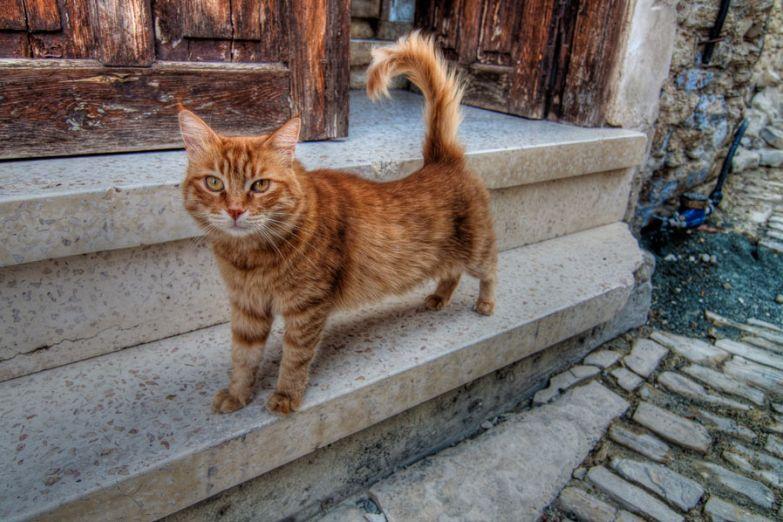 Кипрская кошка