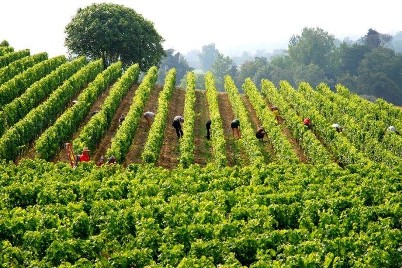 Виноградники в пригороде Бордо