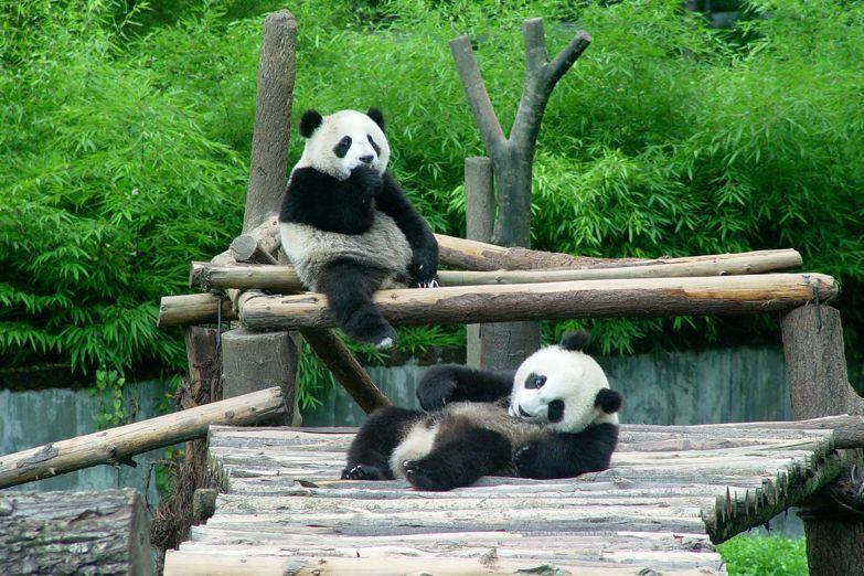 Две панды в заповеднике
