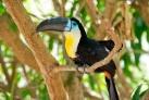 В цвета бразильского флага окрашены даже птицы