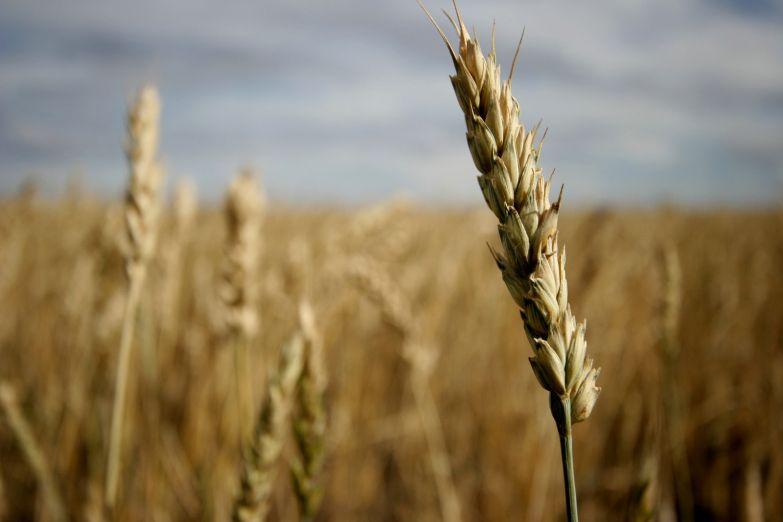 Пшеница на русских полях