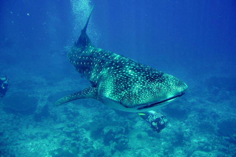 Променад с китовой акулой