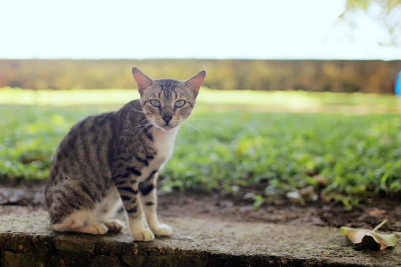 Ланкийская кошечка