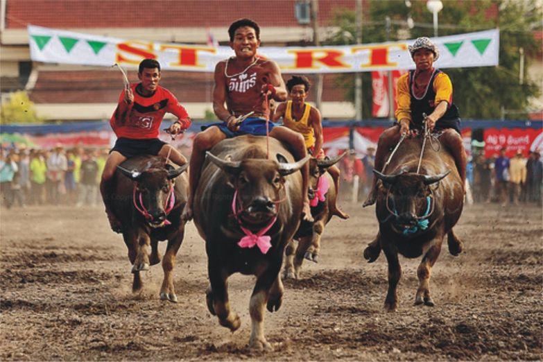 Гонки на буйволах в Чонбури