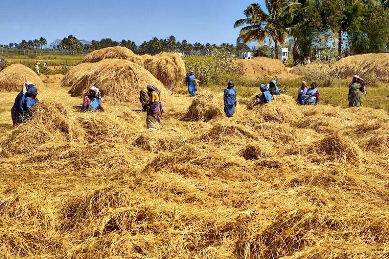 Сбор урожая риса в Керале