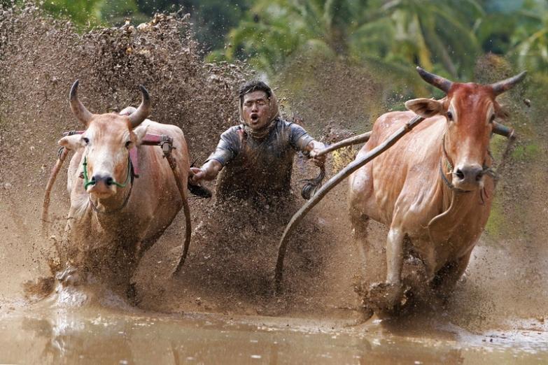Гонки на буйволах