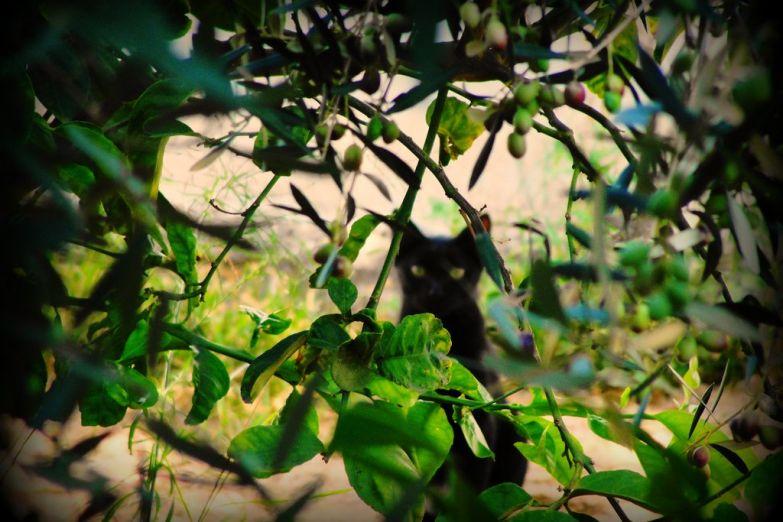 Кот в оливковой роще