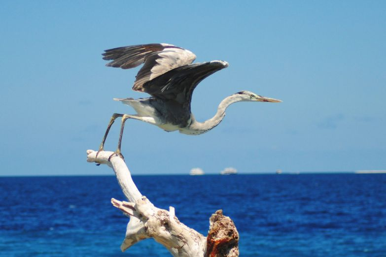 Птицы Мальдив